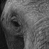 Elephant-Eye165