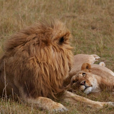 Lion-Lovers-#4-400